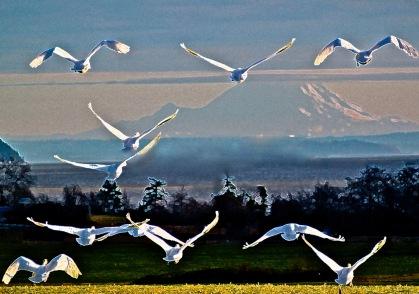 Snow Geese _edited-1 - Version 2